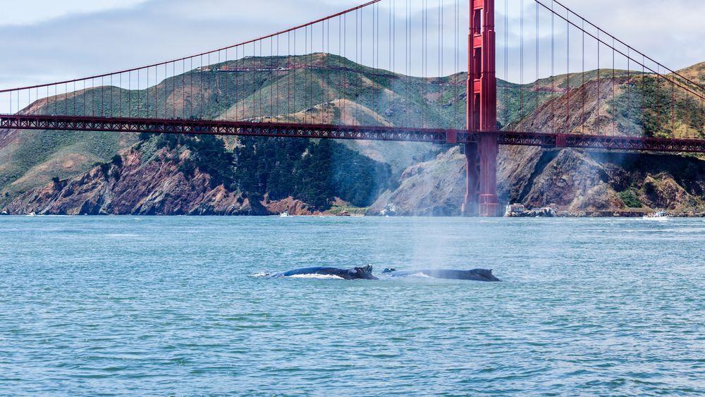 San Francisco Whale