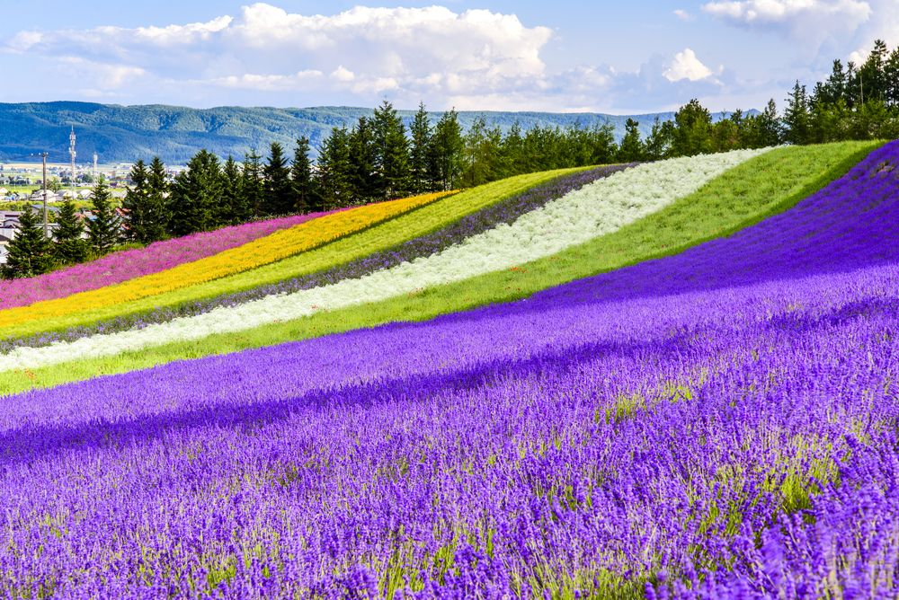 Furano Lavender Fields