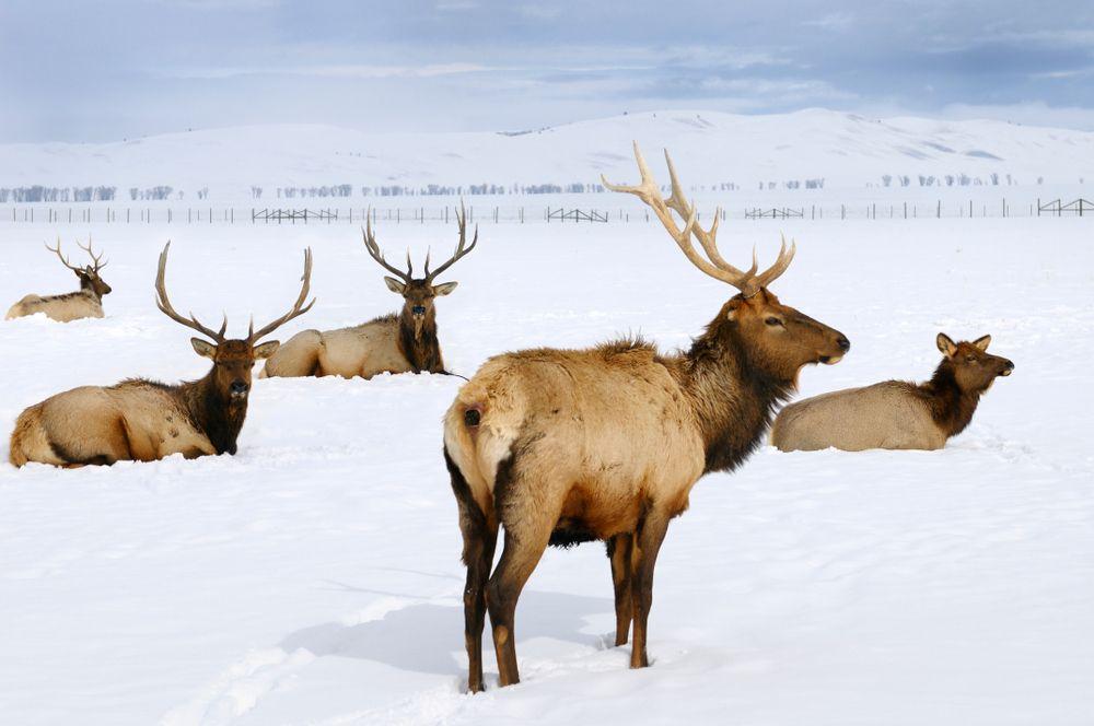 National Elk Refuge