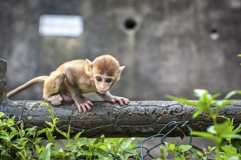 Baby macaque in Kam Shan Country Park