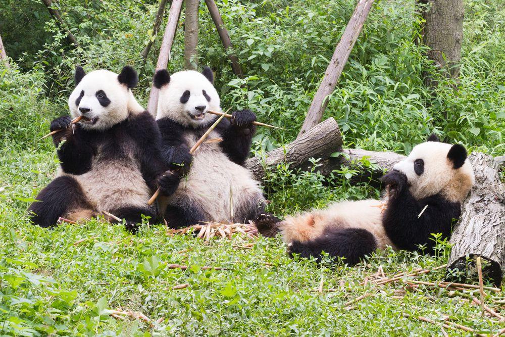 Chengdu Research Base of Giant Pandas