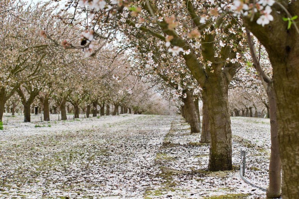 White Blossom Trail in Fresno