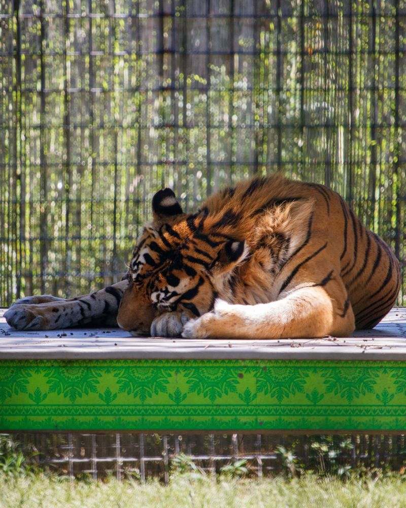 Tiger in Hattiesburg zoo