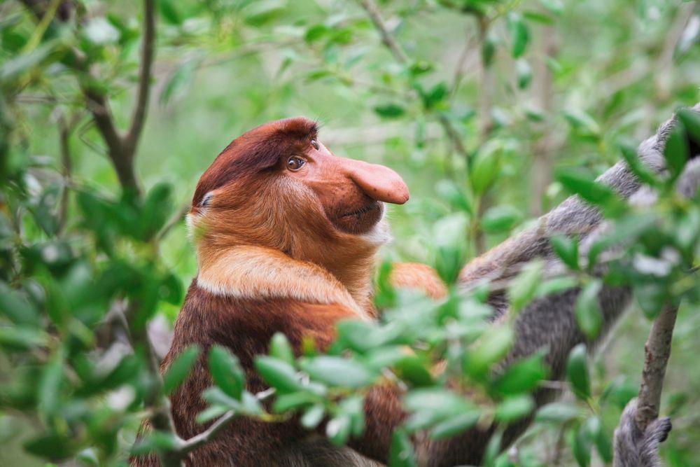 Long nosed monkey at Bako National Park