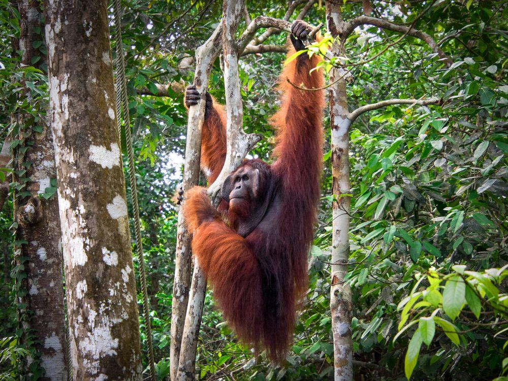 Orangutans at Semenggoh Nature Reserve