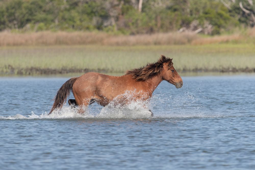 Wild horse on Rachel Carson Reserve