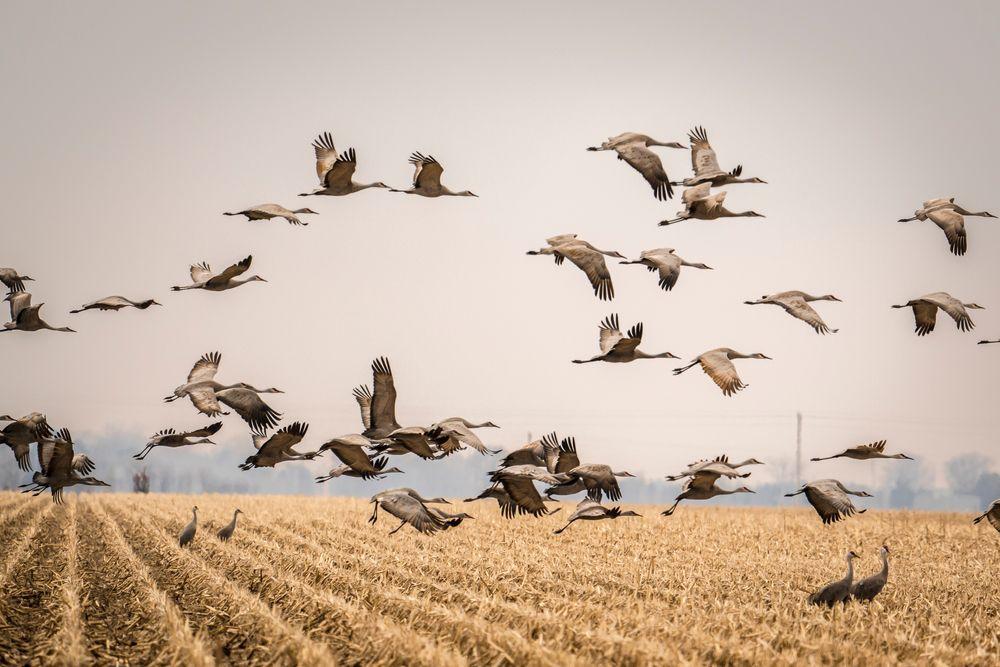 Sandhill Cranes in Kearney