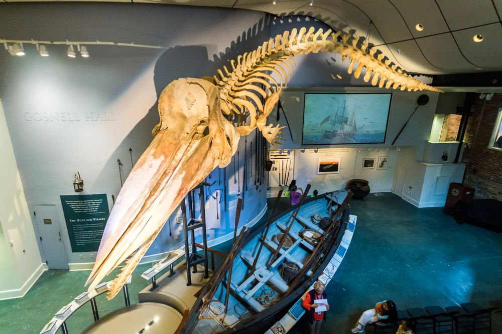 46-foot long sperm whale skeleton in Whaling Museum