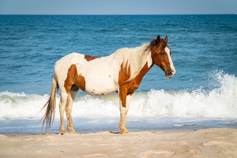 Wild Horse in Assateague beach