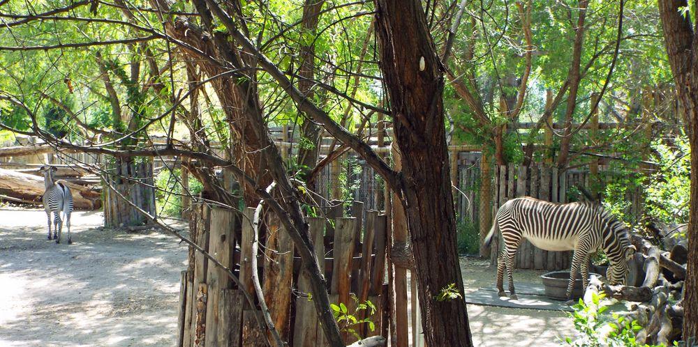 Zebras in Boise Zoo
