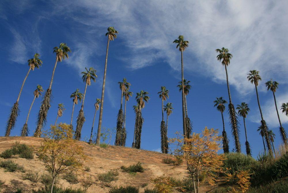 Palm trees at California Citrus State Historic Park