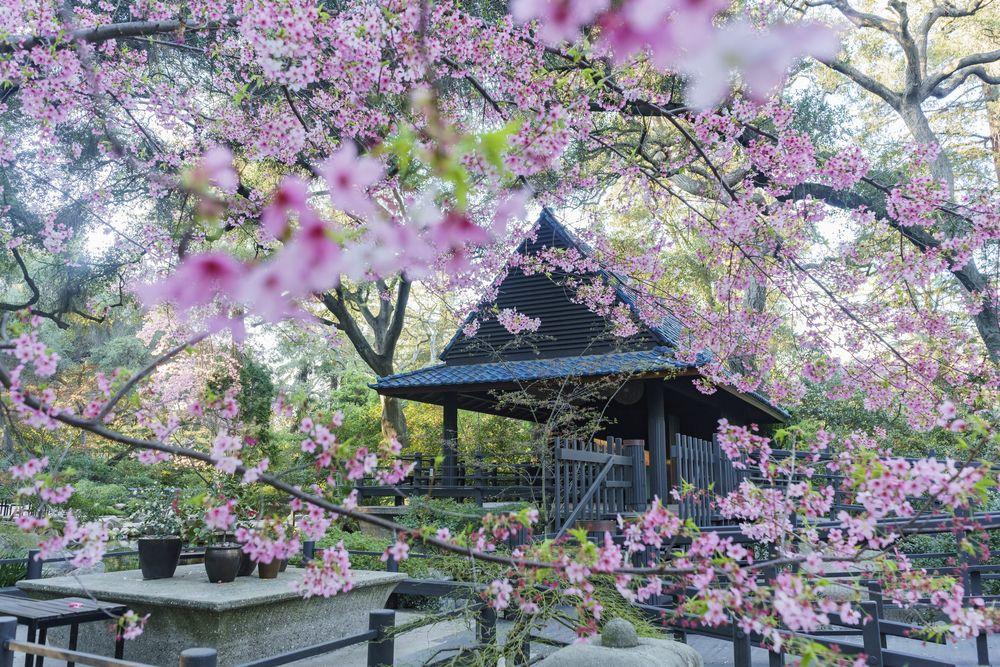 Cherry Blossom at Descanso Gardens