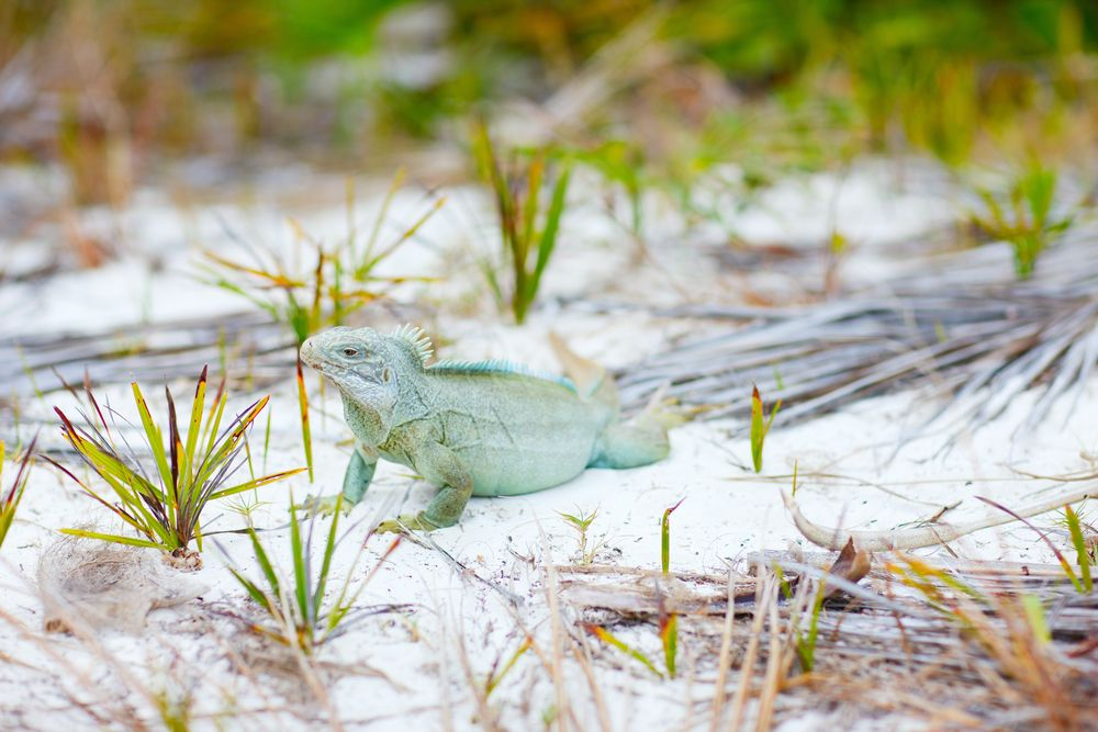 Iguana at Little Water Cay