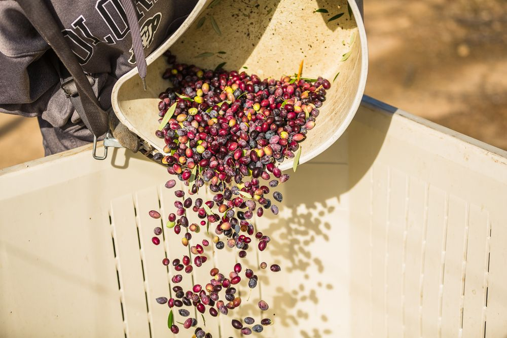 Olive Harvest in Paso Robles