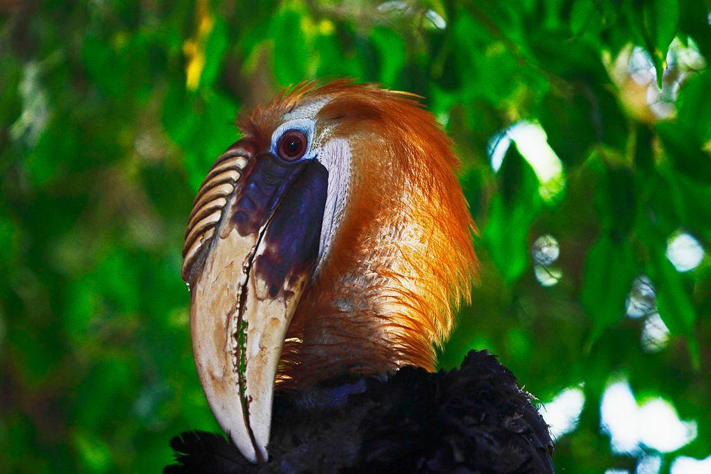 Papuan Hornbill in Peoria Zoo