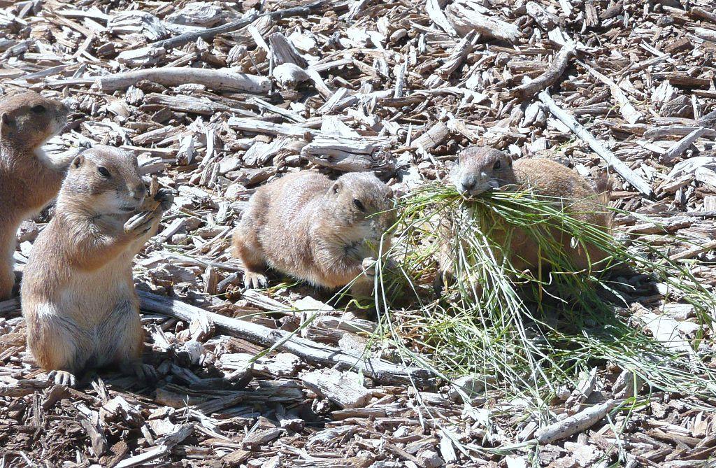 Prairie dogs in Prairie Dog town