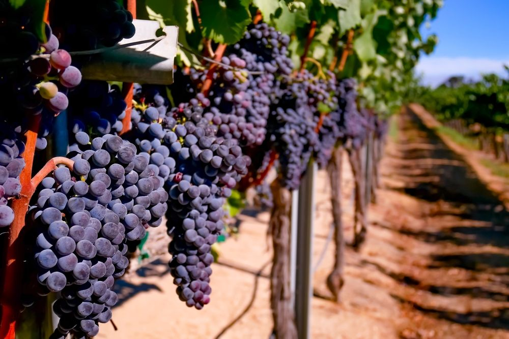 Ripe Grapes for harvest in Paso Robles