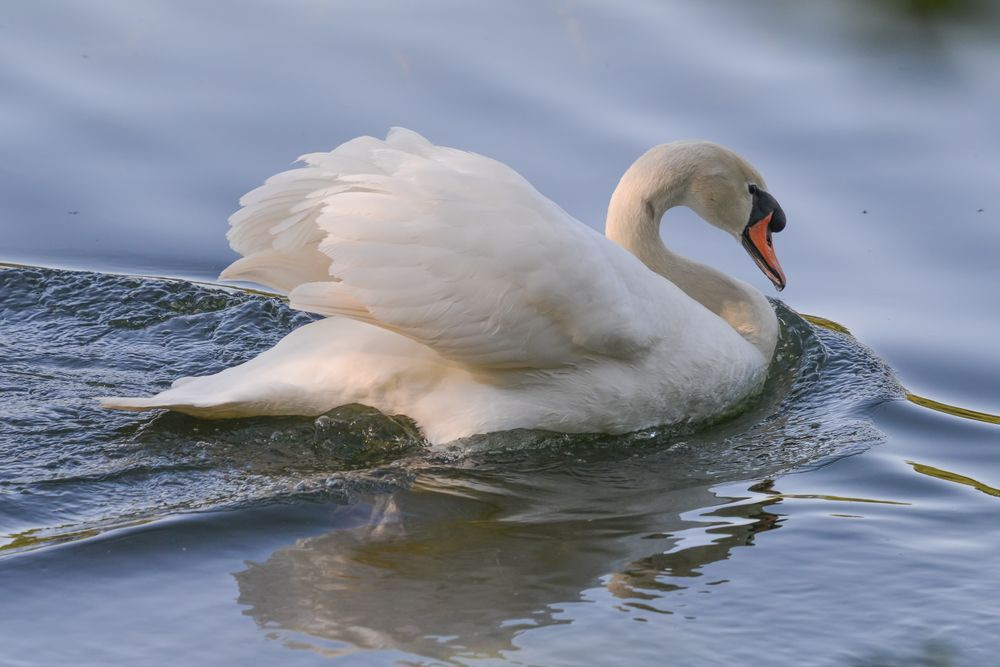 Swan in Trione-Annadel State Park