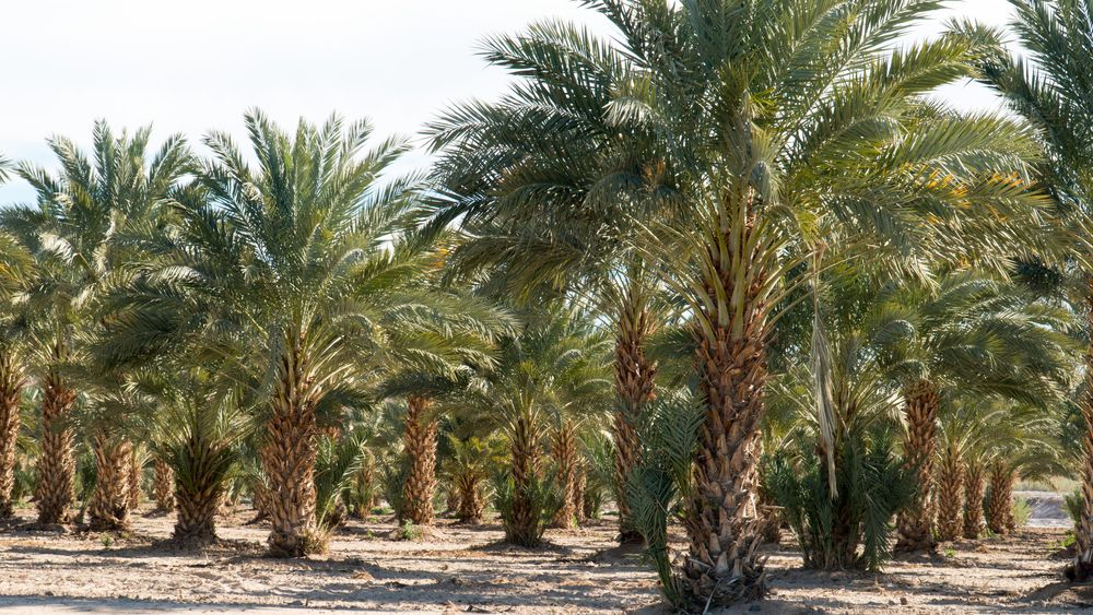 Grove of Date Palm Tree in Yuma, AZ