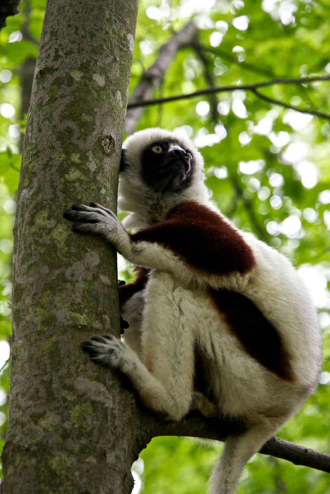Coquerel's sifaka at Duke Lemur Center