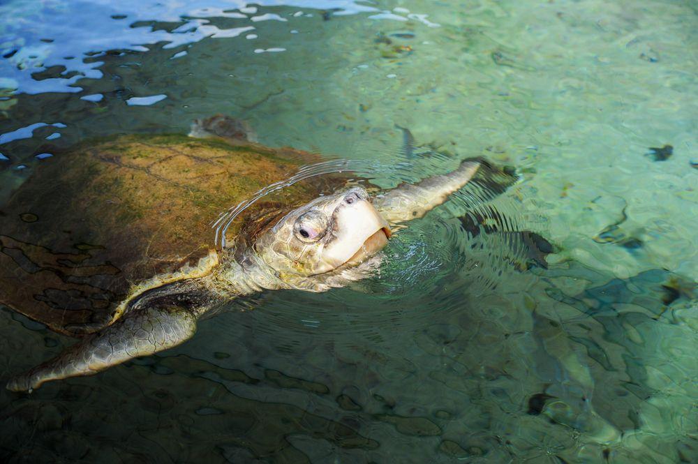 Sea turtle at Gumbo Limbo Nature Center