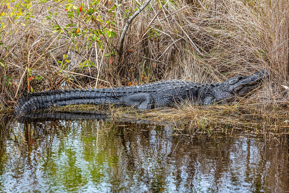 Alligator at Ten Thousand Islands National Wildlife Refuge
