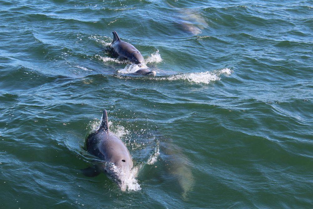 Dolphins in Port Aransas