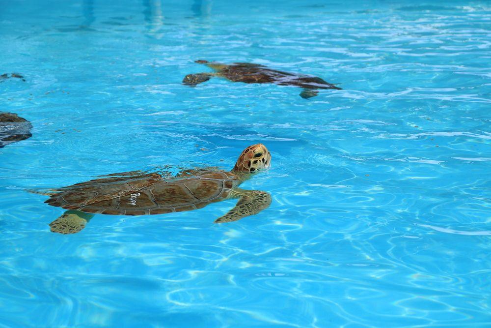 Injured turtles at Florida Keys Turtle Hospital