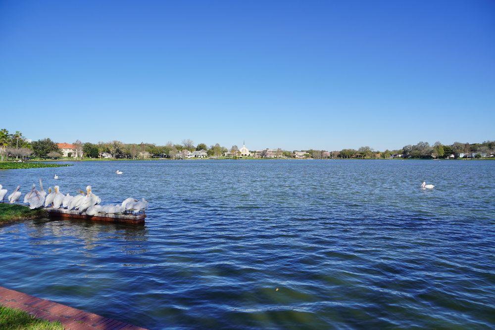 Swans at Lake Morton