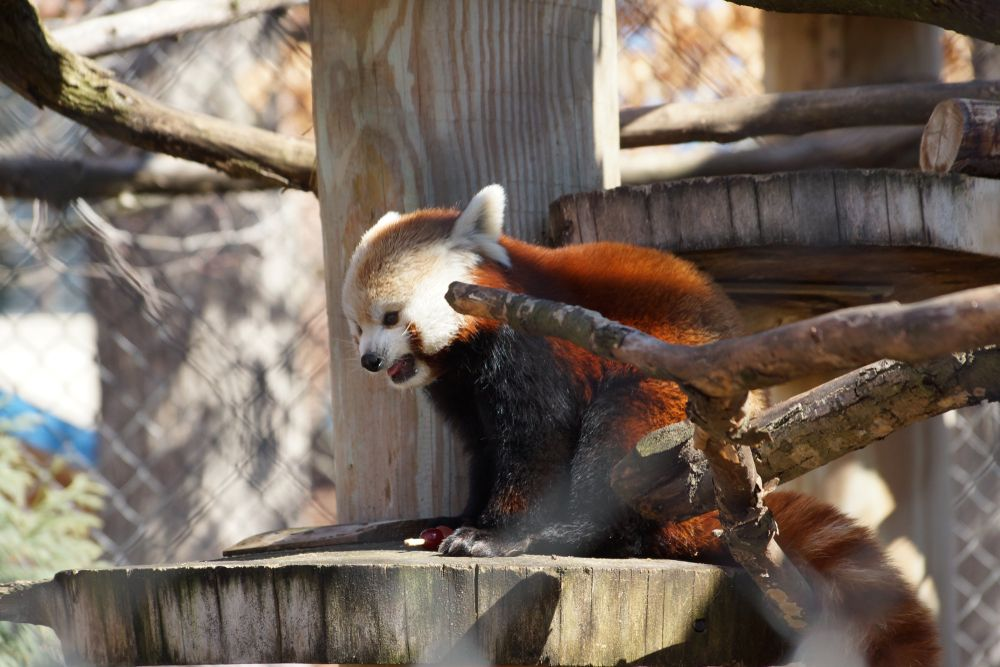 Red Panda at Potter Park in Lansing