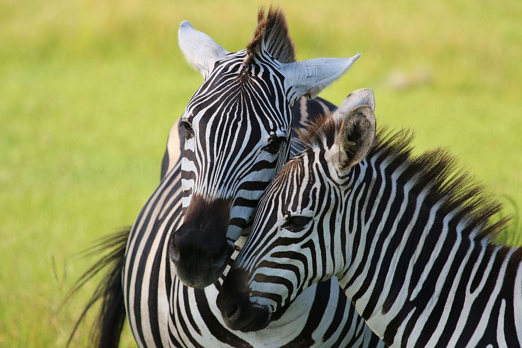 Zebras at Safari Wilderness in Lakeland
