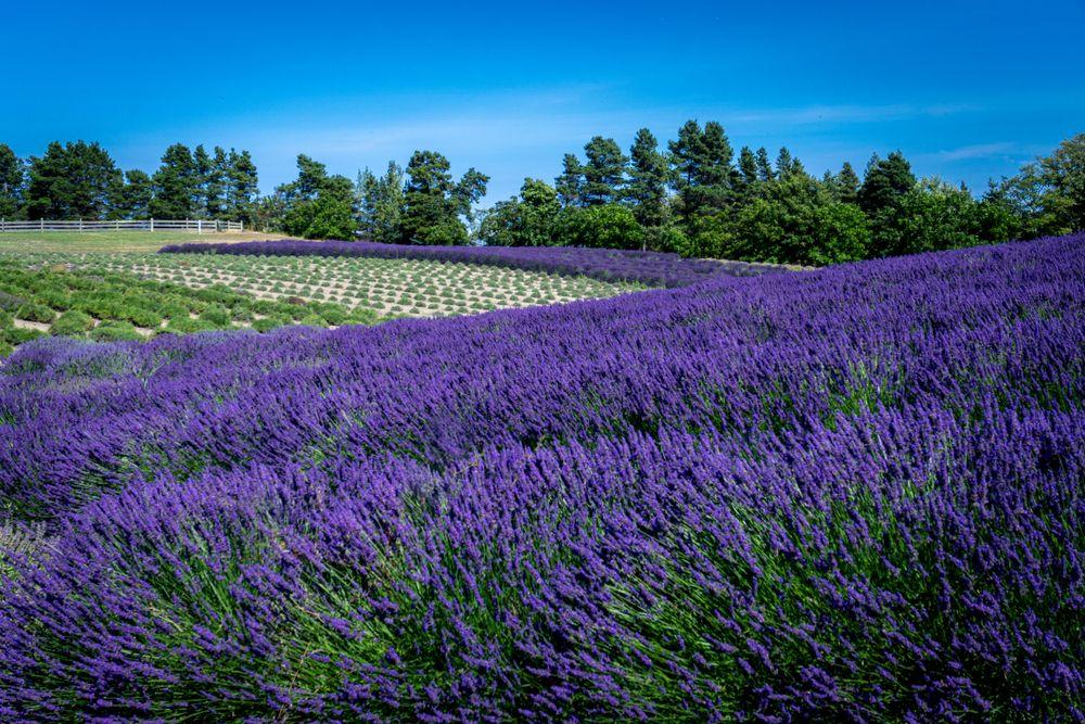 Sequim Lavender Fields