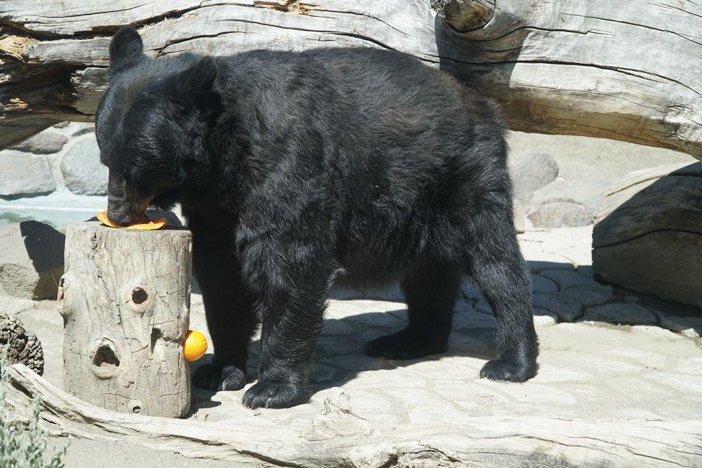Black bear at Animal Ark