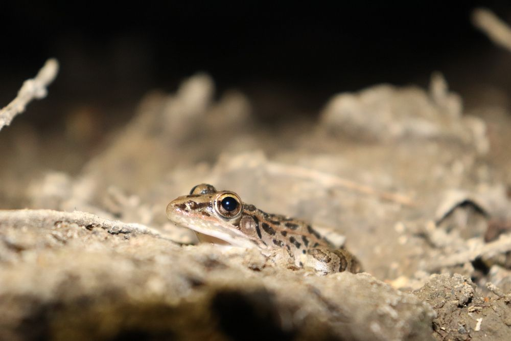 A frog at Arbor hills Nature Preserve