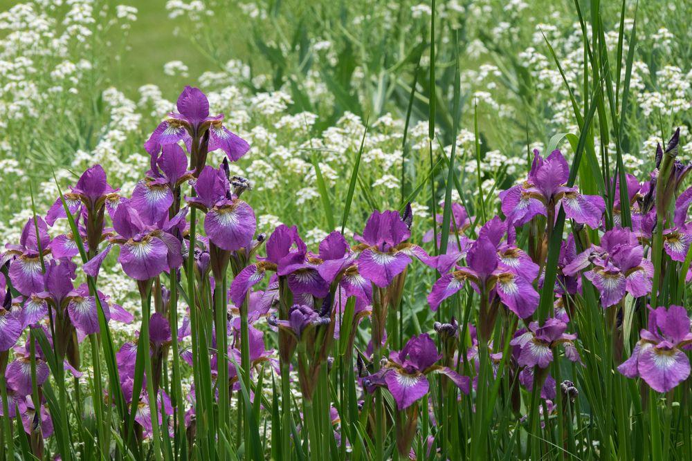Field of Iris at Berkshire Botanical Garden