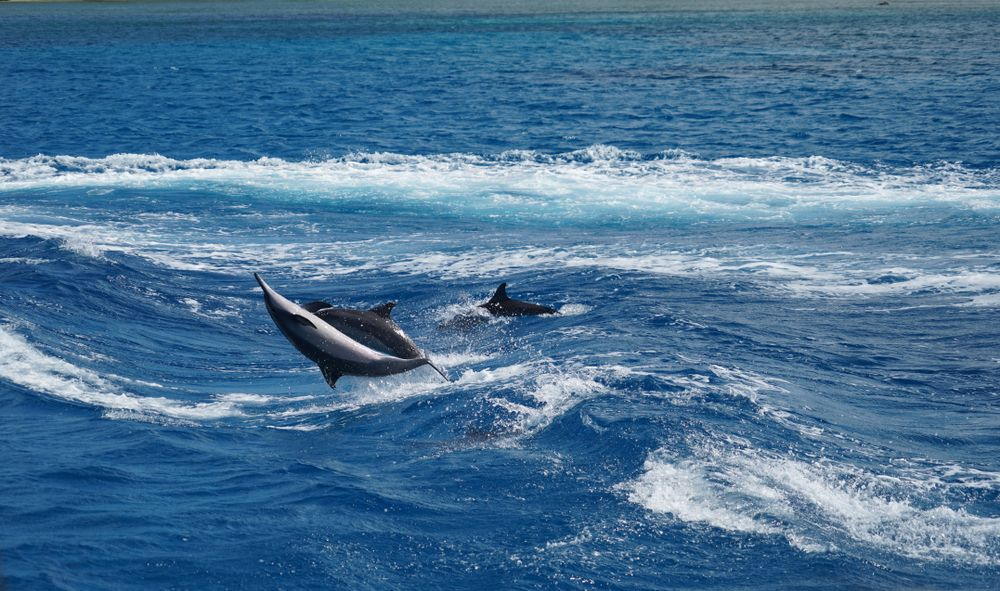 Dolphins in Guam