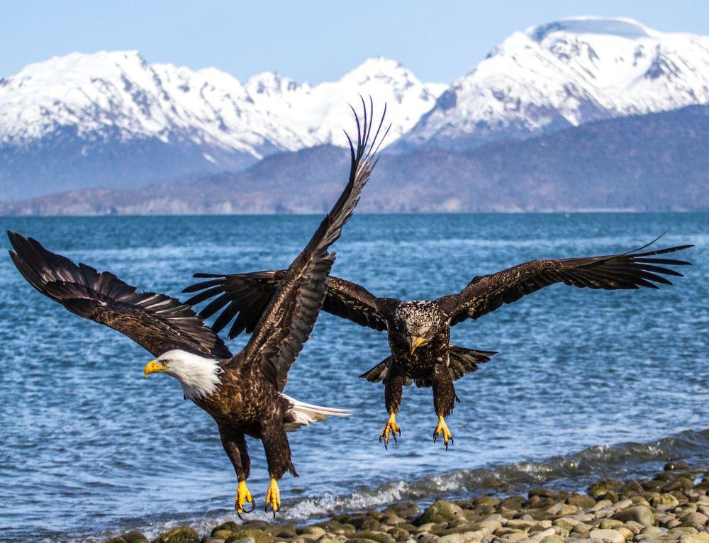 Eagles on Homer Bay