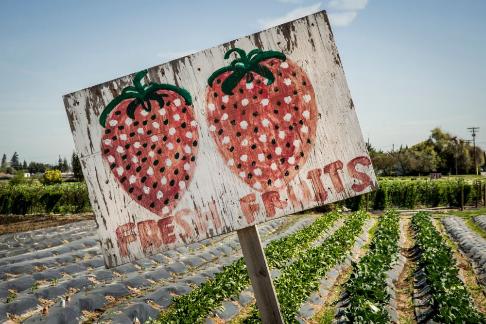 Fresh strawberries sold at roadside