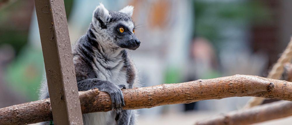 Ring Tailed Lemur at Washington Park Zoo in Michigan City