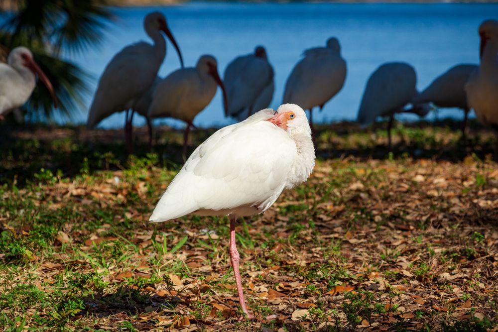 White ibis at Topeekeegee Yugnee Park