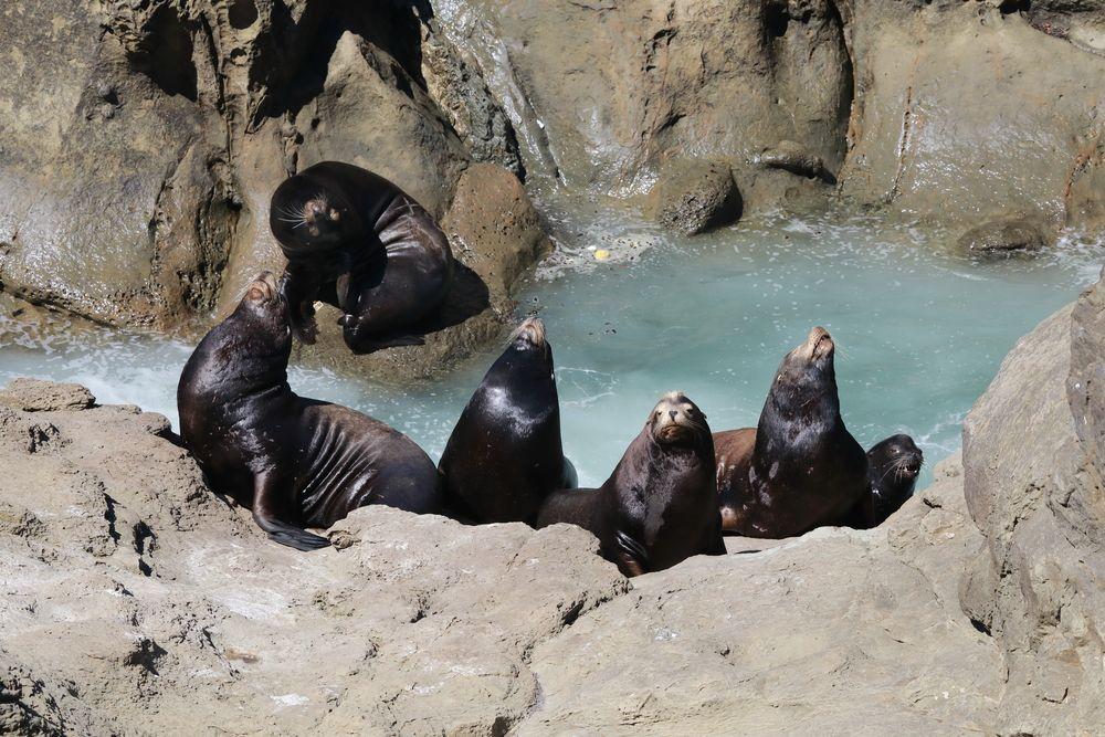 Sea Lions at Cape Arago State Park