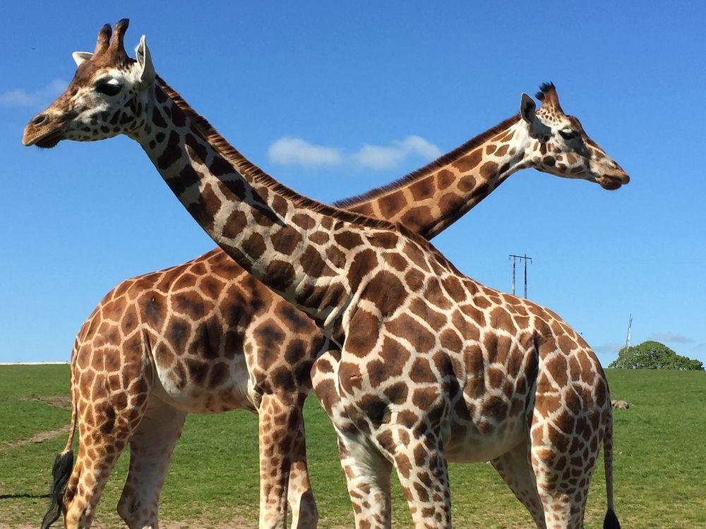 Giraffes in Fota wildlife park