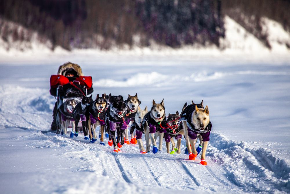 Dog-sled at Iditarod