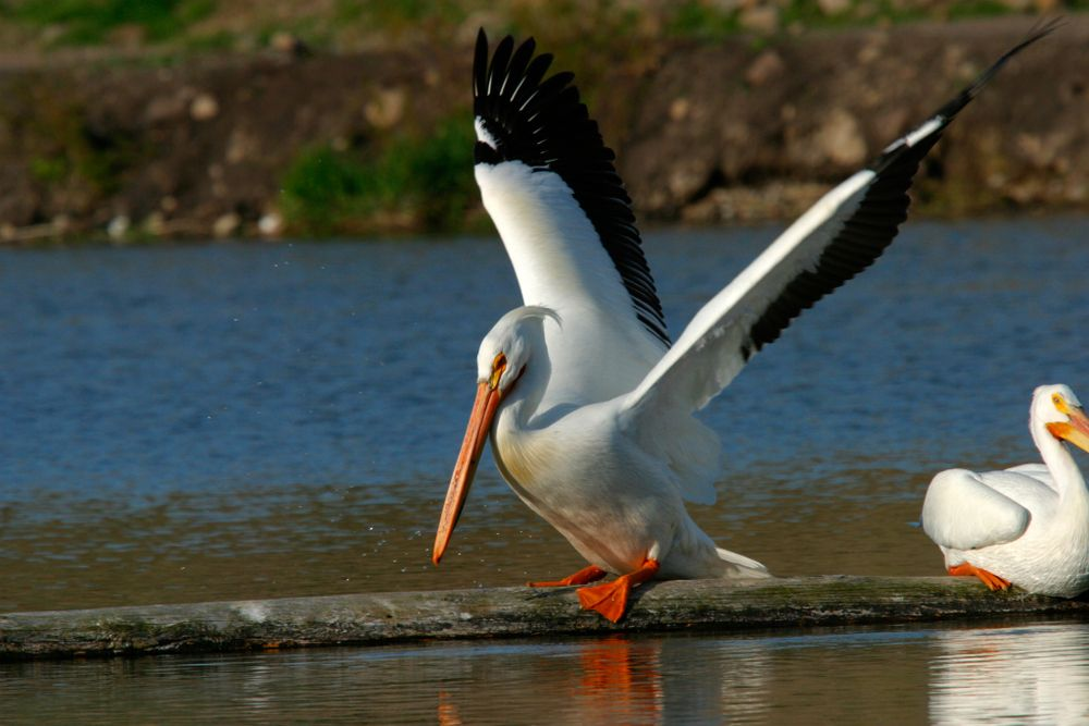 White Pelicans at Link River Trail