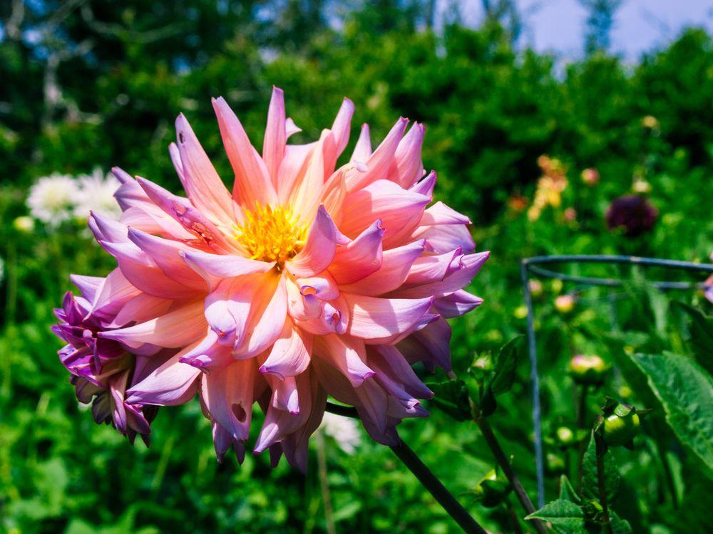 Dahlia in Mendocino Coast Botanical Garden