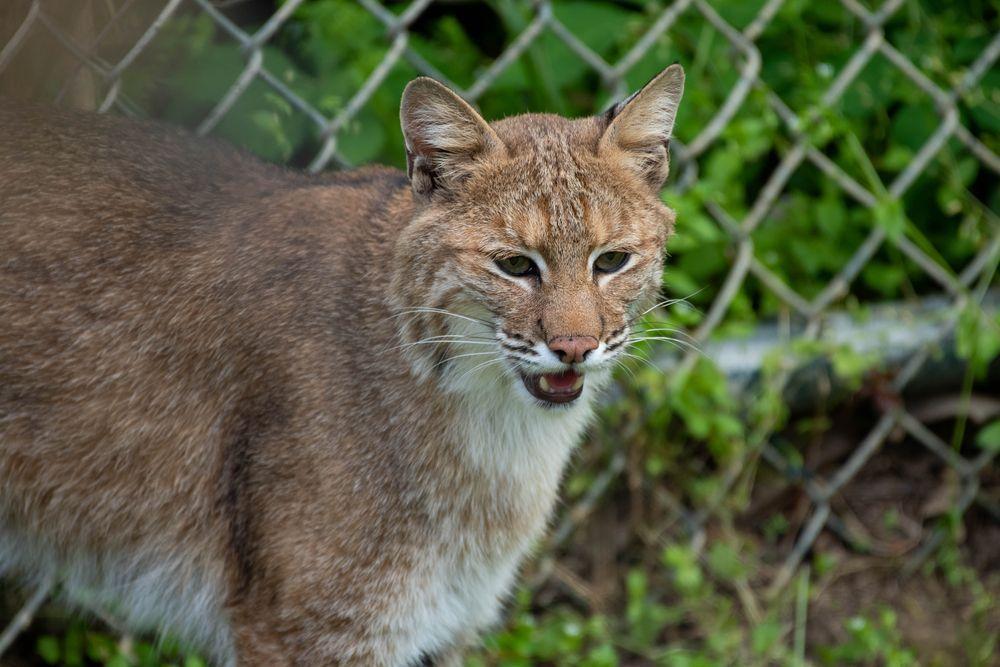 Bobcat at Salato wildlife centre