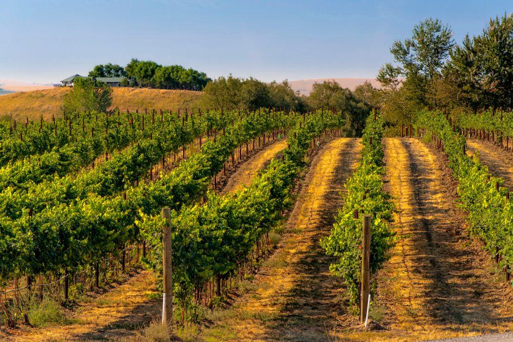 Vineyards in Walla Walla