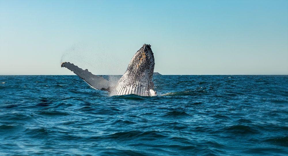 Whale in Byron Bay