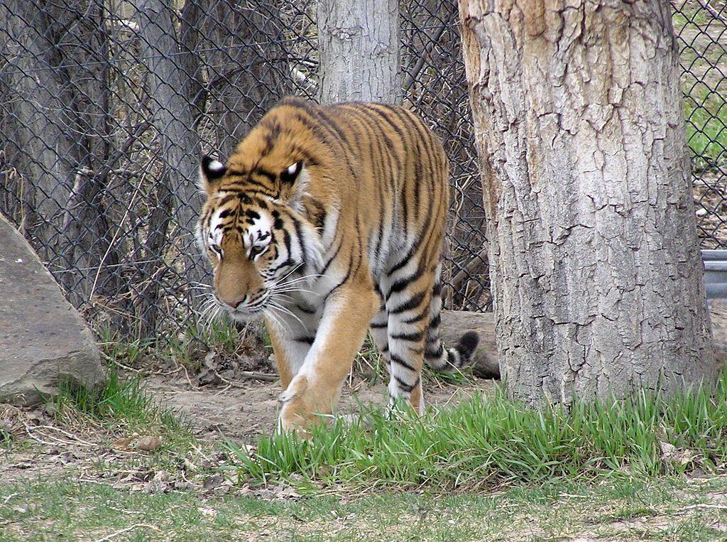Tiger at ZooMontana