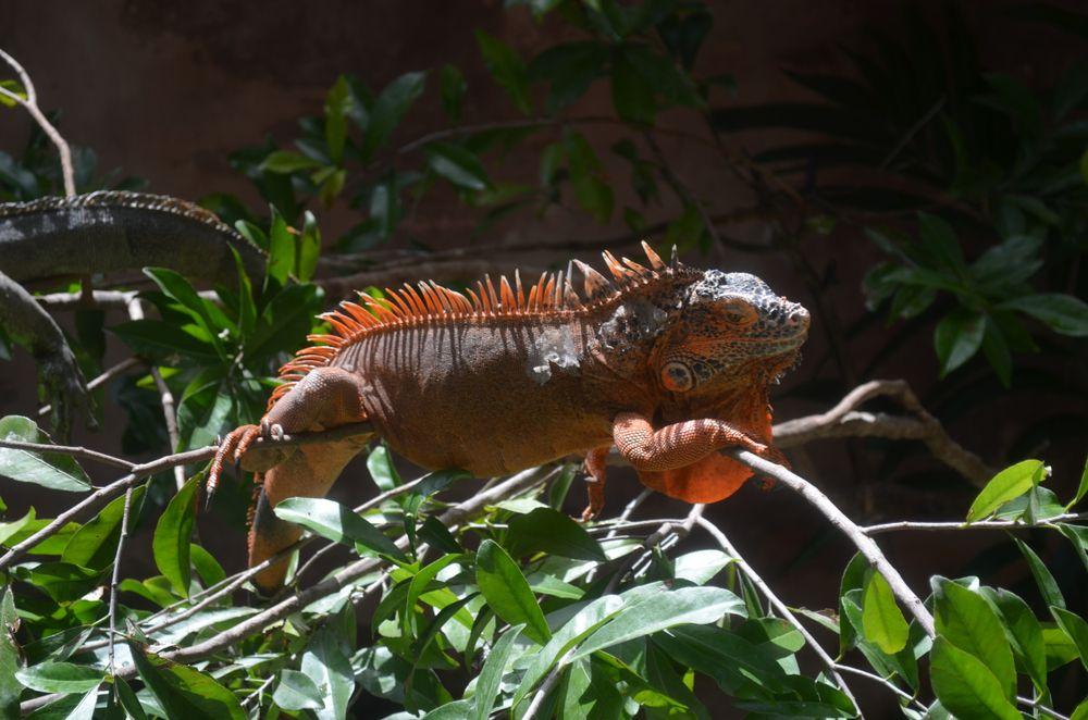 Iguana at Croco Cun Zoo